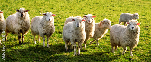Fotografie, Obraz seven sheep in a row in a field looking at the camera