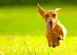 canvas print picture - Miniature Dachshund Dog
