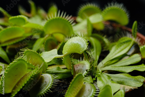 Photo Dionaea muscipula or venus flytrap in flower pot close-up on black background