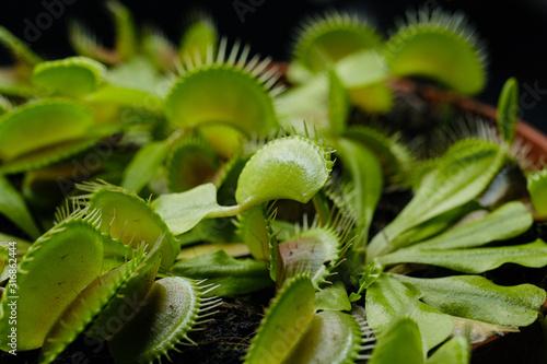 Dionaea muscipula or venus flytrap in flower pot close-up on black background Canvas Print