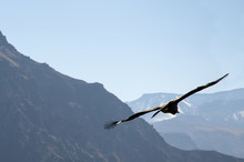 A Condor Flying Majesticly High Over Colca Canyon