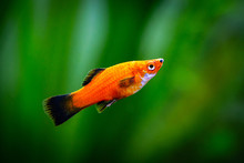 Red Wagtail Platy (Xiphophorus...