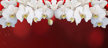 Frame Made Of Beautiful White Orchids Isolated On Red Bokeh Texture Background Panorama Banner Long