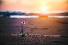 Flowers Growing In Sandy Seaside In Morning Sunrise