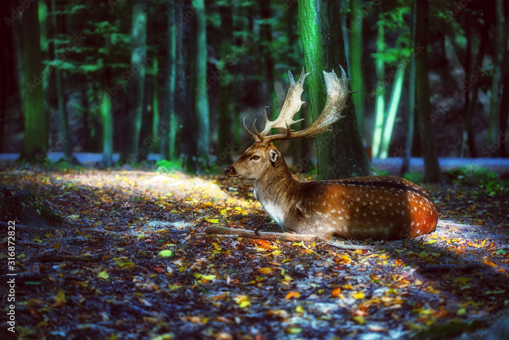 Fototapeta Magical deer with antlers in forest