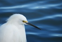 White Heron On Blue Water Background