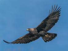 Golden Eagle Soaring- A Golden...