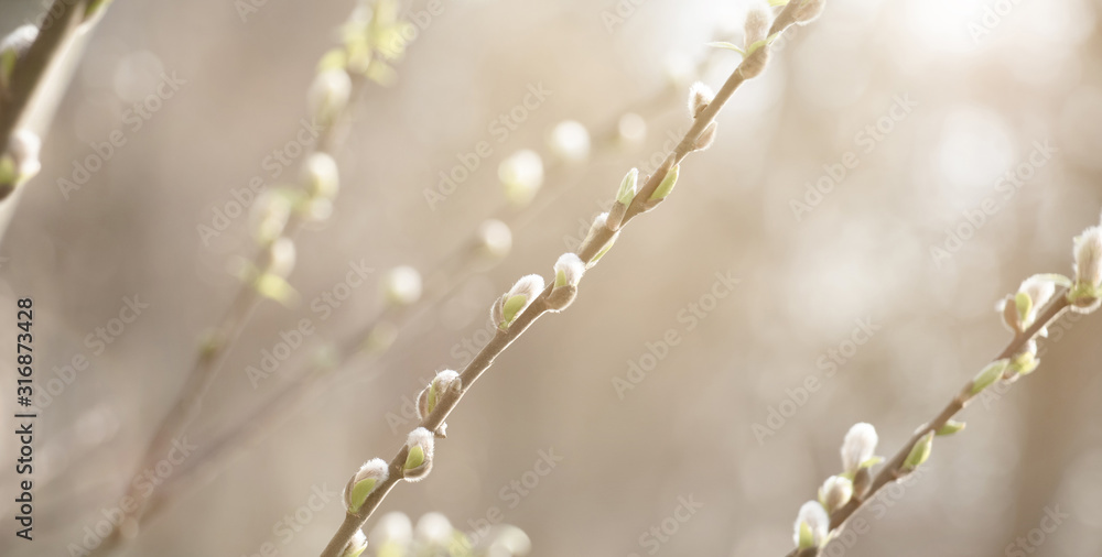 Fototapeta Spring nature Scene with pussy willow branches,