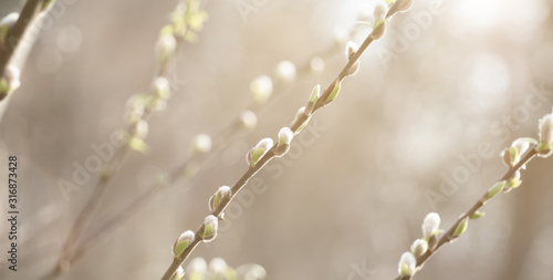 Spring nature Scene with pussy willow branches, Wallpaper Mural