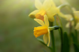 Closeup of yellow blooming daffodils against blurred green background, copy space for text