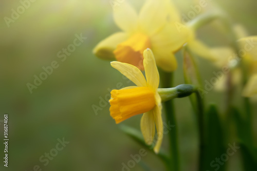 Closeup of yellow blooming daffodils against blurred green background, copy spac Poster Mural XXL