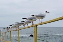 Seagulls Are Sitting On The Ra...