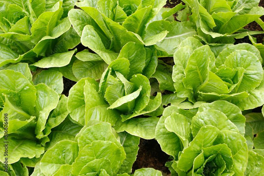 Fototapeta green vegetable in organic farm