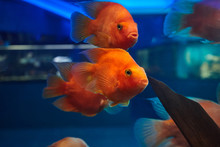 Red Blood Parrot Fishes At Aqu...