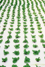 Small Lettuce Plants Growing I...