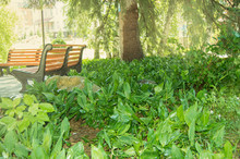 Many Plants Of Green Lilies Of...