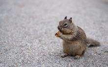 Squirrel Eating Bread. Portrai...