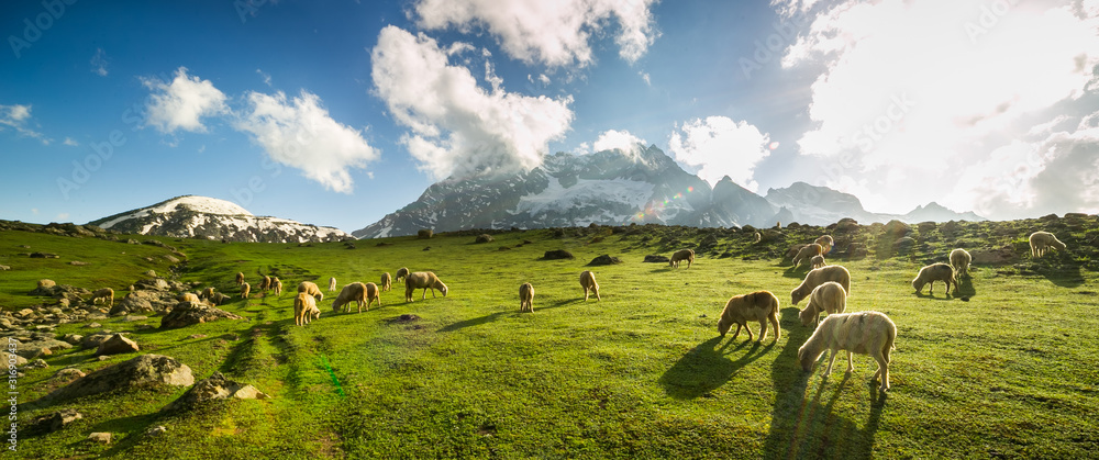 Sheep grazing grass on meadow with mountain view in Sonamarg, Jammu and Kashmir, India