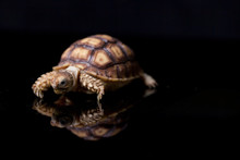 Baby Sulcata Tortoise, African...