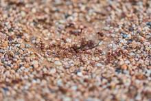 Leraf Cutting Ants (Atta Sp.) ...