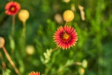 Gaillardia Pulchella (firewheel, Indian Blanket, Indian Blanketflower, Or Sundance) Flower In The Sunshine In Texas