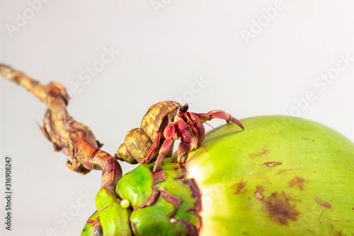 Photo Hermit crab on coconut isolated on white background with selective focus