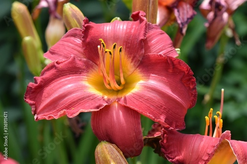 Closeup shot of chicago apache lily flower glowing under the sun Canvas Print