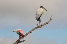 White And A Pink Wood Stork On A Tree Branch With A Blurred Background