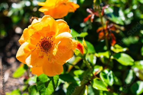 Beautiful yellow-petaled rose with green leaves on a blurred background