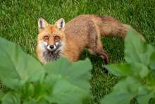 Closeup Shot Of A Cute Curious Wild Fox Sneaking Into A Garden