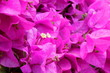 canvas print picture - Light purple  Bougainvillea flowers or paper flower. Droplets are on petal of flower.