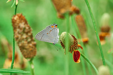 Gray Hairstreak Butterfly (Strymon Melinus) On A Mexican Hat, Upright Prairie Coneflower