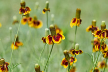 Mexican Hat, Upright Prairie C...