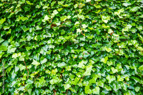 Foto green ivy wall