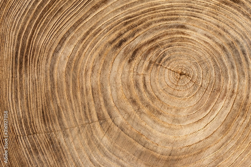 Fototapeta Wooden texture from cut tree trunk of maple tree, closeup