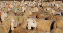 Flock Of Sheep On Transhumance...
