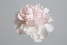 Pastel Gently Pink Peony Isola...