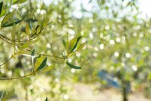 Sunny Olive Branch, Blurred Ol...