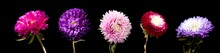 Aster Flowers Isolated On A Bl...