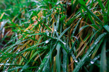 Drops Of Dew On Green Grass