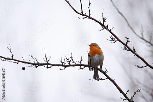 Photo European robin sitting on a tree branch in a forest with a blurry background
