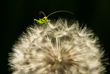 Small Green Cricket On The Dandelion