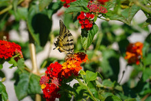 Swallowtail Drinks Nectar From A Red Lantana Flower