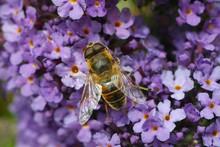 Closeup Shot Of A Bumblebee Si...