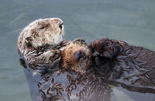 Endangered Southern Sea Otter (Enhydra Lutris) Mother Holding Baby Pup