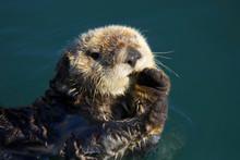 Sea Otter (Enhydra Lutris) In ...