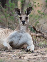 Eastern Grey Kangaroo Laying On The Ground Surrounded By Branches With A Blurry Background