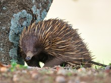 Echidna Standing Near A Tree S...
