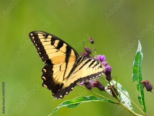 Closeup of a black and yellow butterfly on a flower with a blurry background