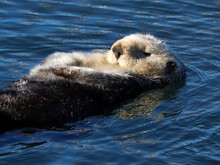 Southern Sea Otter (Enhydra Lutris) In Central California, USA